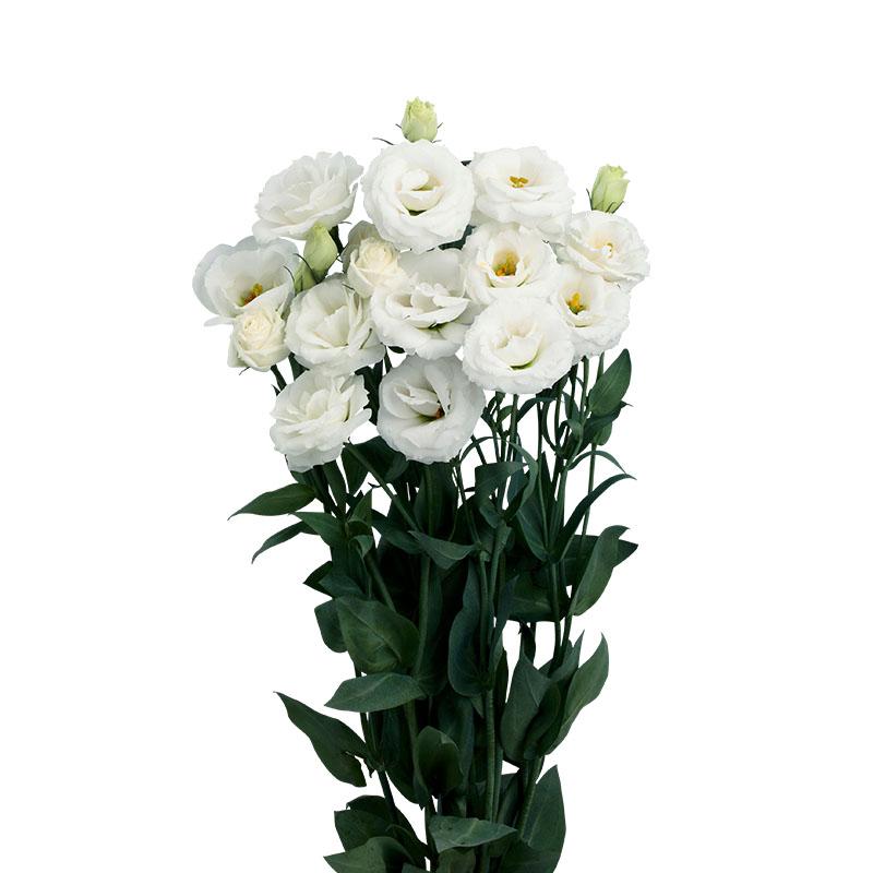 Lisianthus Rosita 4 White