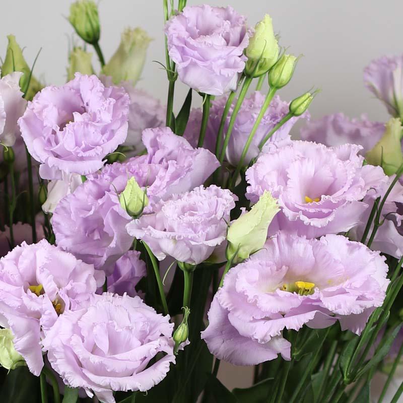 Alissa 1 Lavender