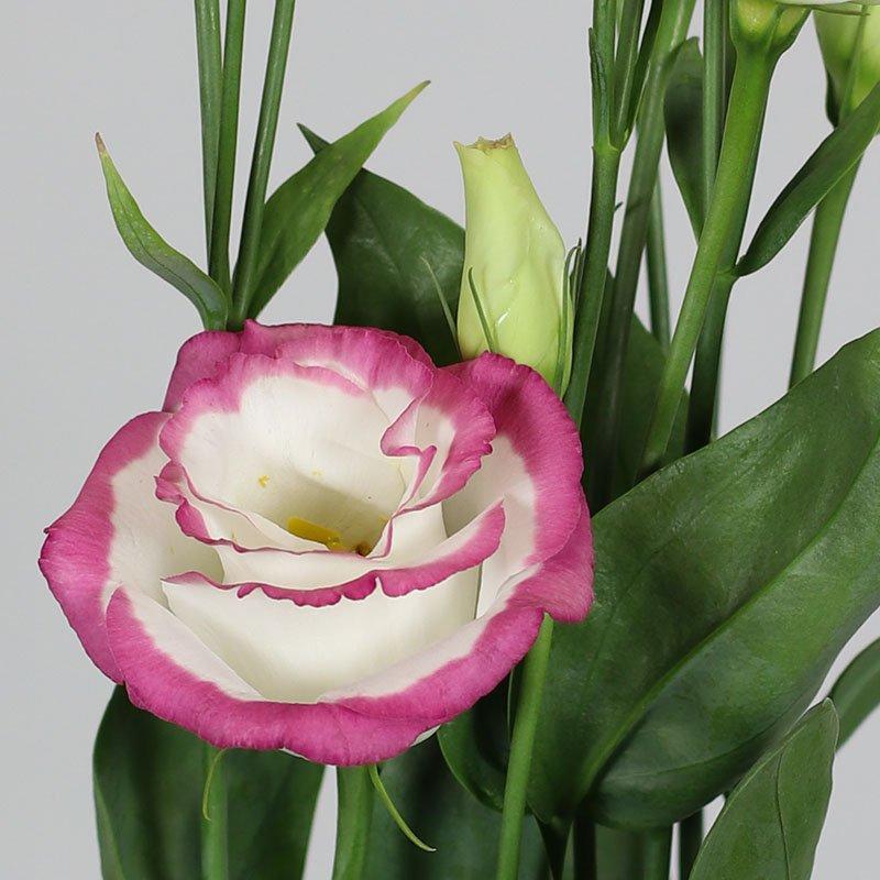Rosita-3-Pink-Picotee