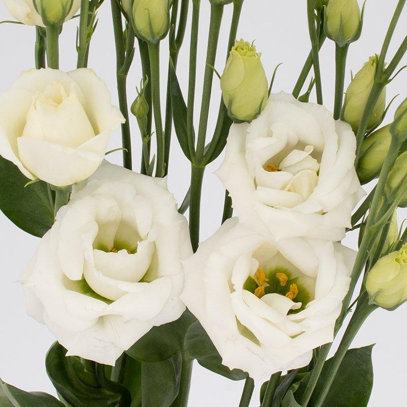 Rosita-3-Pure-White-II