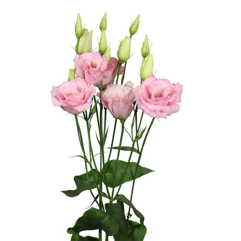 Lisianthus Mariachi Light Pink